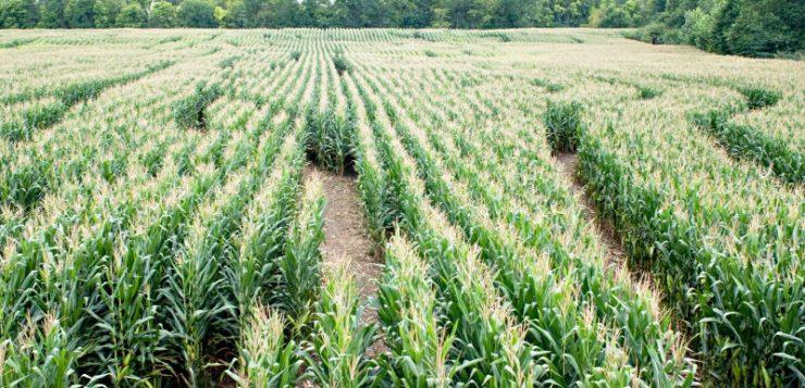 Wie helpt mee met maisdoolhof Glimmen?