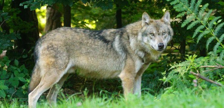 Wolf in de buurt