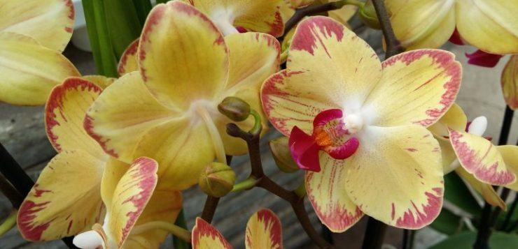 25 jaar Reinhart Orchideeën 10 tm 12 mei