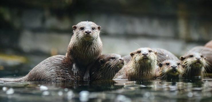 Helpt de otter invasieve rivierkreeften in toom te houden?